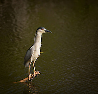 Black Crowned Night Heron standing on a log in the water