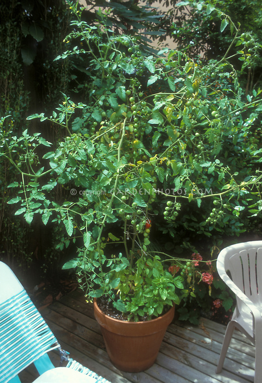 Cherry tomatoes sweet 100 growing in container pot vegetable garden on deck in backyard showing large plant with green and some red tomato, with Ocimum basil culinary herb interplanted at base, fresh tomato