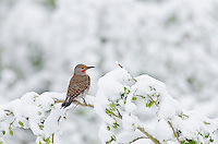 Male Red-shafted Northern Flicker (Colaptes auratus) sitting on snow cover aspen tree branch.  Late winter, Northern Rockies.