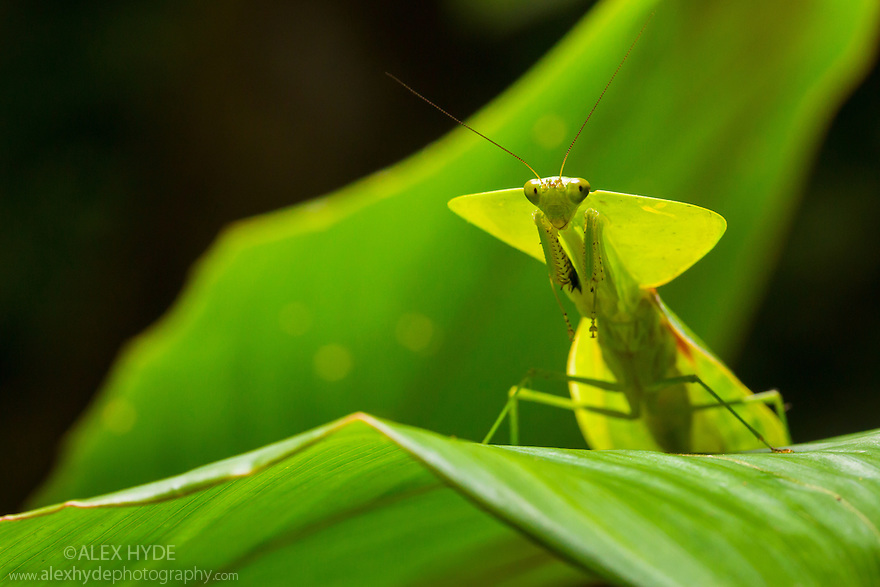 Leaf-mimicking Mantis  (Choeradodis rhombicollis), Osa Peninsula, Costa Rica. Corcovado National Park, Osa Peninsula, Costa Rica, May.