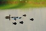 Ducks:  Dabblers