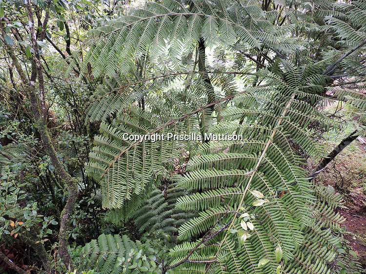 Waitomo, New Zealand - September 17, 2012:  A tree fern grows in the rainforest.