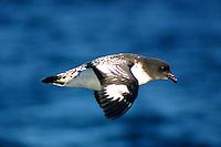 Cape Petrel in Flight off Tasmania