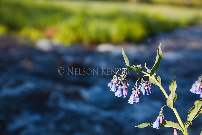 Bluebell wildflowers along a mountain stream in the Absaroka Beartooth wilderness below Hidden Lake