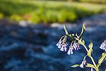 Bluebell wildflowers along a mountain stream in the Absaroka Beartooth wilderness below Hidden Lake