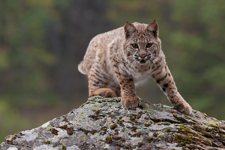 Bobcat watching intently from on top of a lichen covered rock - CA