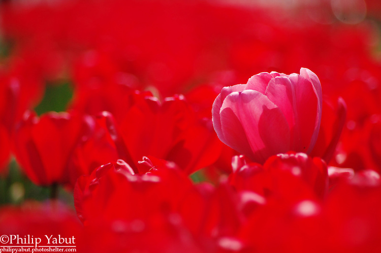 A single pink tulip is taller than the sea of red around it in Lafayette Square's flower bed.