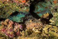 ornate wobbegong, Orectolobus ornatus, Steve's Bommie, Agincourt, Great Barrier Reef, Australia, South Pacific Ocean