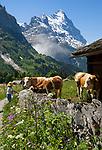 CHE, Schweiz, Kanton Bern, Berner Oberland, Grindelwald: Maedchen und Kuehe oberhalb von Grindelwald vorm Eiger | CHE, Switzerland, Bern Canton, Bernese Oberland, Grindelwald: girl and cattle above Grindelwald with Eiger north face