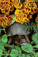 1R07-066z  Eastern Box Turtle - among marigolds - Terrapene carolina