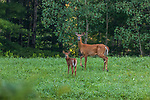 White-tailed doe and fawn in a northern Wisconsin field.