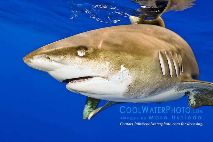 oceanic whitetip shark, Carcharhinus longimanus, note nictitating membrane, off Big Island, Hawaii, Pacific Ocean