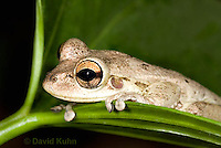 0201-0923  Cuban Treefrog (Cuban Tree Frog) Detail of Head, Osteopilus septentrionalis  © David Kuhn/Dwight Kuhn Photography