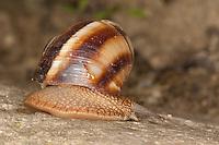 Gestreifte Weinbergschnecke, Weinberg-Schnecke, Helix lucorum, Turkish Snail, escargot