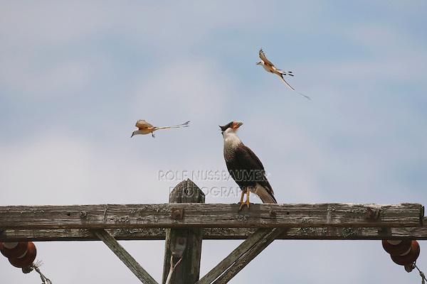 Crested Caracara (Caracara plancus), adult mobbed by a pair of Scissor-tailed Flycatcher (Tyrannus forficatus), Sinton, Corpus Christi, Coastal Bend, Texas, USA