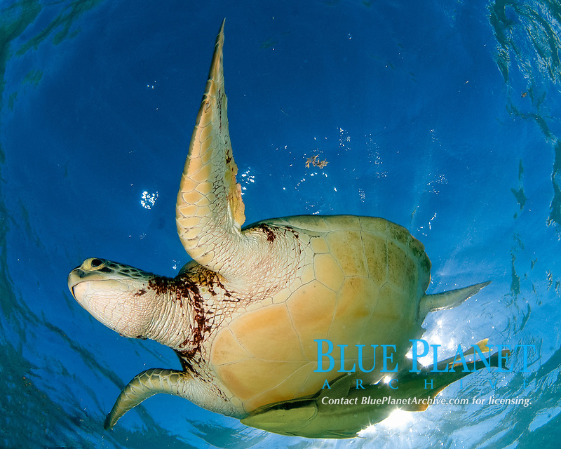 Green sea turtle, Chelonia mydas, taking a breath on the surface, Akumal Bay, Mexico, Caribbean Sea, Atlantic Ocean