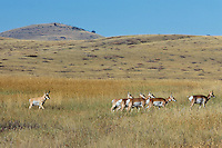 Pronghorn Antelope (Antiloapra americana) herd--buck herding harem of does.  Western U.S., fall.