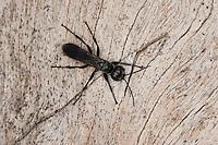 Wegwespe, Weg-Wespe, Arachnospila spec., Wegwespen, Pompilidae, pompilids, spider-hunting wasps, spider wasps