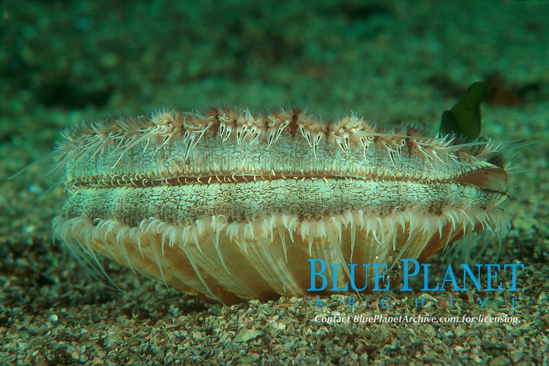 Clam, Pecten maximus, ÿygarden, Hordaland, Norway, North Atlantic Ocean