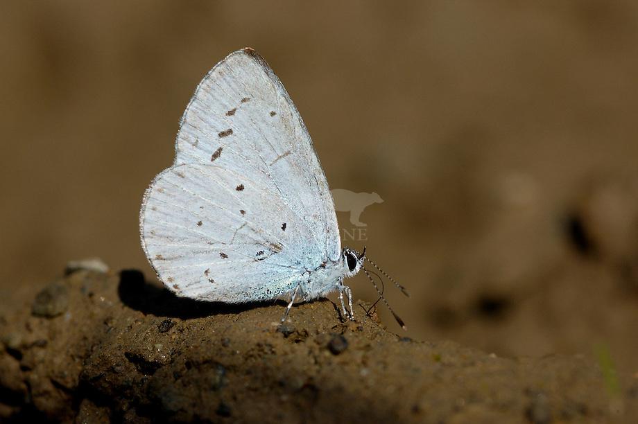 Boomblauwtje (Celastrina argiolus)