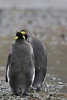 King Penguins, Aptenodytes patagonicus, on beach at Grytviken whaling station, South Georgia, Southern Ocean, Antarctica