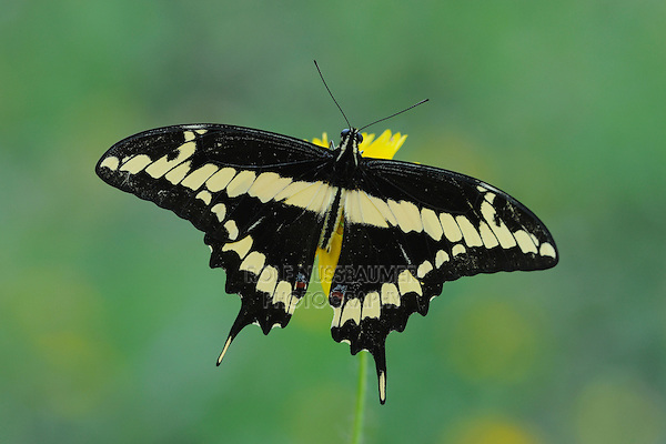 Giant Swallowtail (Papilio cresphontes), adult feeding on flower, Fennessey Ranch, Refugio, Coastal Bend, Texas Coast, USA