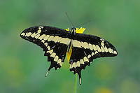 Giant Swallowtail (Papilio cresphontes), adult feeding on flower, Fennessey Ranch, Refugio, Coastal Bend, Texas Coast, USA