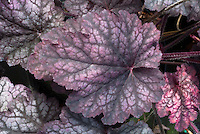 Heuchera 'Midnight Bayou' dark red purple and silver