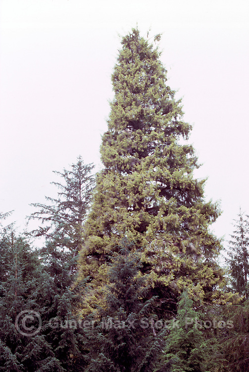 Golden Spruce (aka Kiidk'yaas), a Sitka Spruce Tree (Picea sitchensis), near Port Clements, Graham Island, Haida Gwaii (Queen Charlotte Islands), Northern BC, British Columbia, Canada - The Golden Spruce was a tourist attraction until it was illegally cut down in 1997.