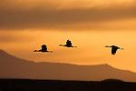 Sandhill Crane (Grus canadensis) trio flying at sunrise, Bosque del Apache National Wildlife Refuge, New Mexico