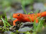 Newt salamander closeup.