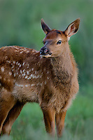 Young Rocky Mountain Elk Calf (Cervus canadensis nelsoni).  Northern Rockies, June.