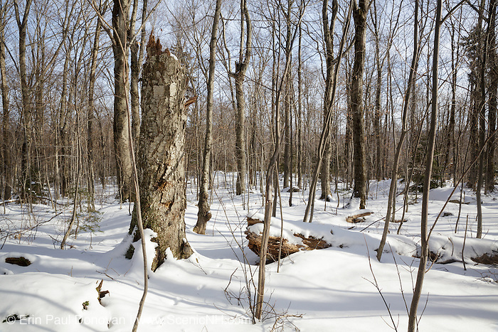 Snapped birch tree in forest along the Mt Tecumseh Trail in Waterville Valley, New Hampshire during the  winter months.