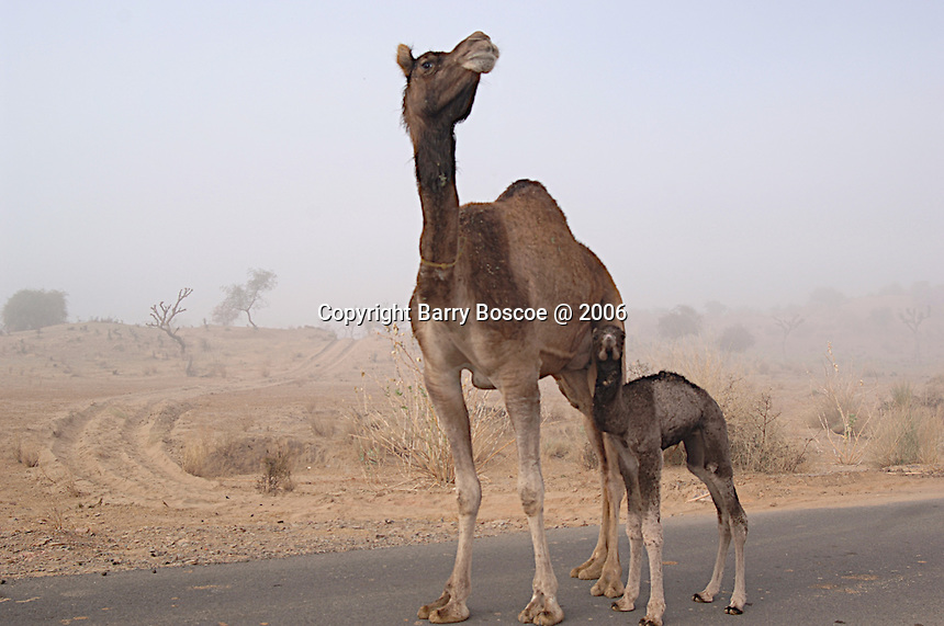 Camel & her baby on a highway in Rajasthan, India