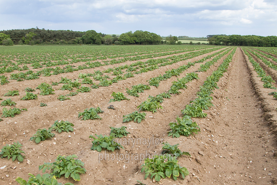 Potatoes emerging in triple planted beds- May, Norfolk