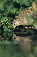 Inca Dove, Columbina inca,adult drinking, Lake Corpus Christi, Texas, USA