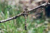 Nordische Moosjungfer, Weibchen, Leucorrhinia rubicunda, Leucorhinia rubicunda, Northern White-faced Darter, Northern Whitefaced Darter