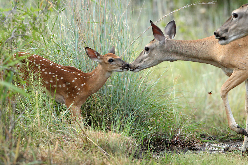 """Whitetail fawn (Odocoileus virginianus) in its """"coming out"""" phase :)"""
