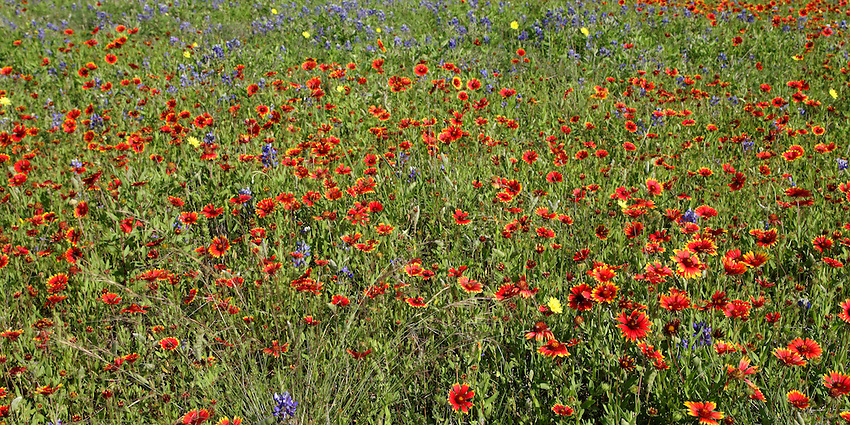 Mix of primarily Indian Blanket flowers accented with Bluebonnets and Dandelions..