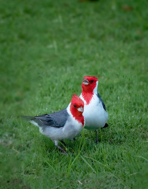 Red Crrested Cardinals. Kauai, Hawaii