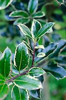 Ilex aquifolium 'Silver Lining'
