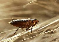 SG04-005b  Flea in mammal hair.