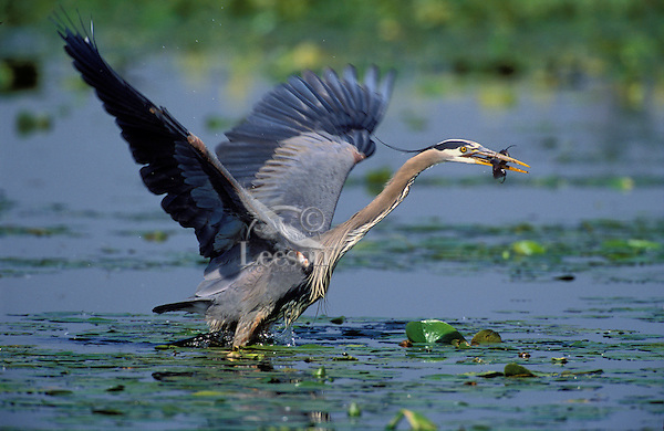 Great Blue Heron fishing for brown catfish/bullhead. Predator/prey. Spring. Series 4/6. British Columbia, Canada. (Ardea herodias).