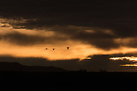 Sandhill Cranes flying at sunrise