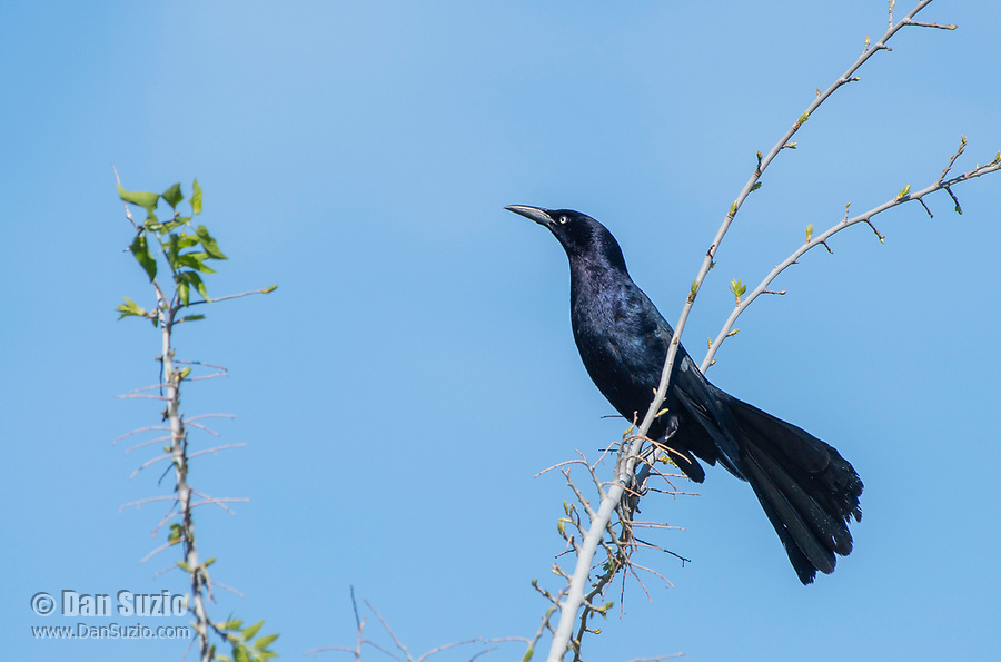 A male Great-tailed Grackle, Quiscalus mexicanus, perches on a branch in the Riparian Preserve at Water Ranch, Gilbert, Arizona
