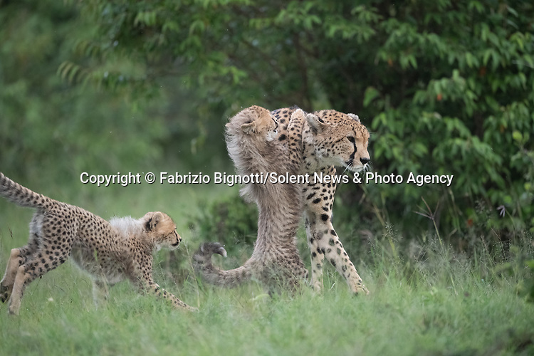 SEQUENCE 3 OF 15:  A young cub takes a tumble as he tries to crawl up his mother's back.  The small African cheetah falls on its paws after being shoved to the ground by its jealous sibling.<br /> <br /> Wrestling each other on the uncut grass, the cubs try to grab their mother's attention.  Amateur photographer Fabrizio Bignotti captured the cubs playing near their mother at Masai Mara National Reserve, Kenya.  SEE OUR COPY FOR DETAILS.<br /> <br /> Please byline: Fabrizio Bignotti/Solent News<br /> <br /> © Fabrizio Bignotti/Solent News & Photo Agency<br /> UK +44 (0) 2380 458800