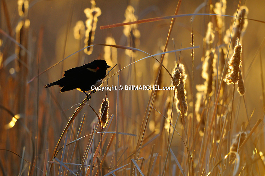00080-012.16 Red-winged Blackbird male is perched among backlit cattails.  Marsh, swamp, breed, territory.