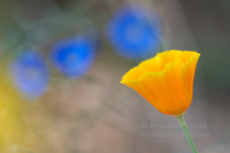 close-up of a yellow / orange California poppy with blue flax in the background