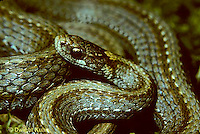 1R01-033a  Red-bellied Snake - Storeria occipitomaculata .
