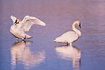 Trumpeter swans, Jackson Hole, Wyoming